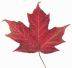 Canadian_maple_leaf_2
